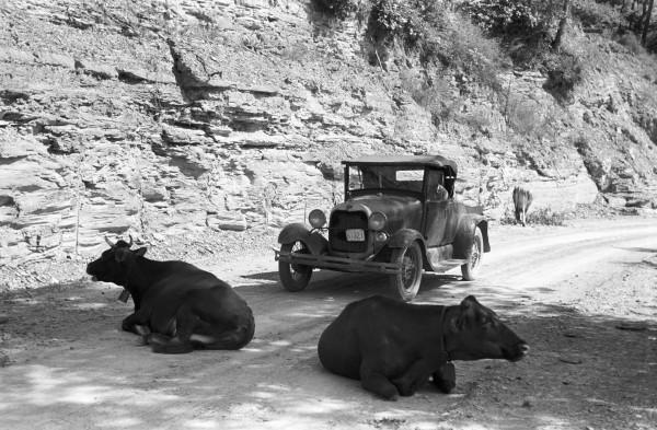 Bydło na drodze niedaleko miejscowości Jackson w hrabstwie Breathitt w stanie Kentucky w 1940 roku (Fot. Marion Post Wolcott)