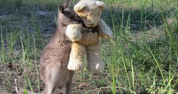 Doodlebug - kangur podbijający internet (fot. Gillian Abbott)