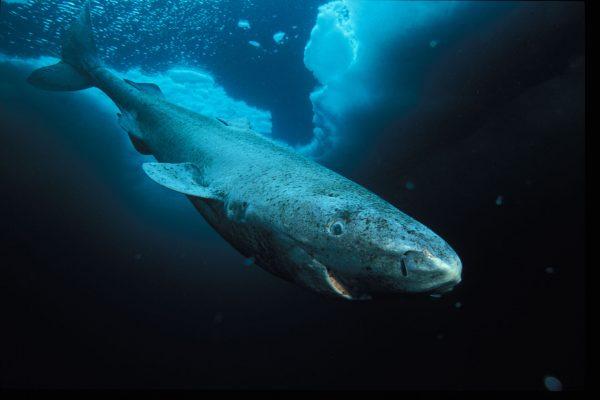 Rekin polarny (fot. Rekin polarny (fot. Paul Nicklen)