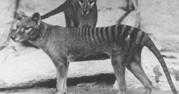 Thylacinus - tygrys tasmański