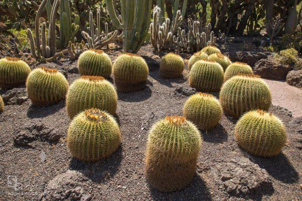 """Mimo nazwy """"fotel teściowej"""", lepiej nie siadać na tych kaktusach (fot. Michał Banach)"""
