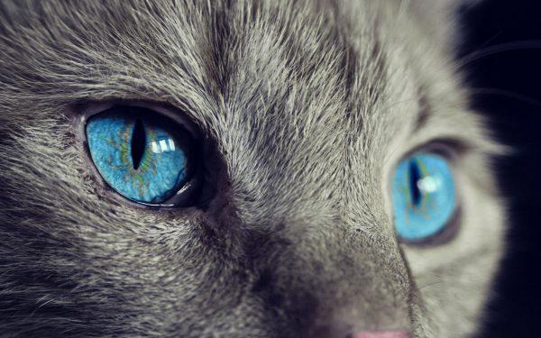 """W porównaniu do człowieka koty mają przede wszystkim znacznie szersze pole widzenia. Oznacza to, że widzą więcej """"kątem oka"""", więc dostrzegają wtedy to, czego my nie widzimy."""