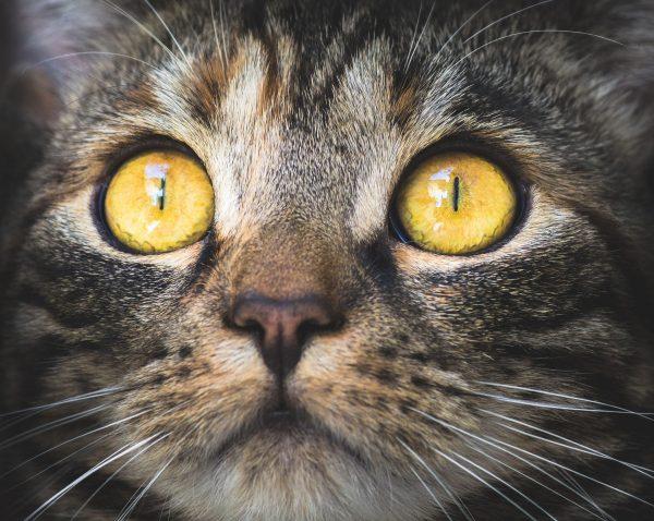 Ze względu na budowę swojego oka koty widzą w tak zwanej trichromii – oznacza to, że ich świat jest widziany z zabarwieniem niebiesko-fioletowym, zielonym oraz żółtym.