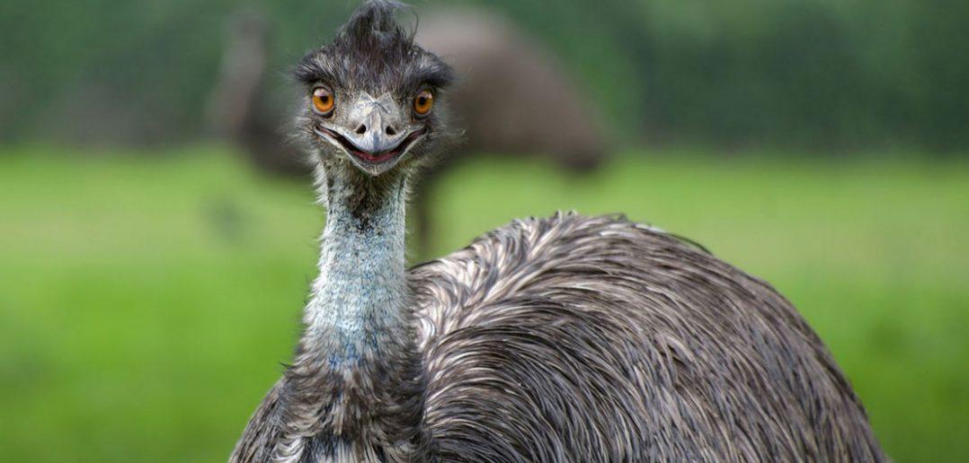 """Wielka Wojna Emu - najdziwniejsza """"wojna"""" w historii Australii"""