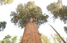 General Sherman - największe drzewo na świecie